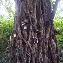 L'arbre à cadenas